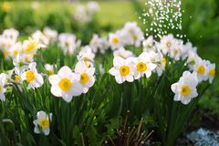 Beautiful white daffodils in the garden stock images