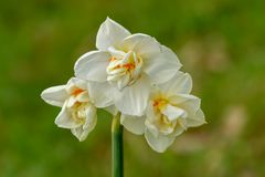 White Daffodils in Spring Royalty Free Stock Photography