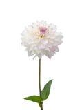 Beautiful white dahlia Stock Images