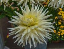 Beautiful white dahlias in the autumn garden in autumn stock image