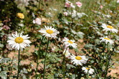 Beautiful white daisies are blossoming in the field.  Stock Photos