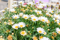 Beautiful white daisies are blossoming in the field.  Royalty Free Stock Images