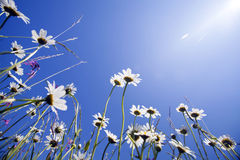 Beautiful white daisies and blue sky Royalty Free Stock Photography
