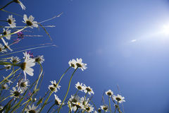 Beautiful white daisies and blue sky Stock Photography