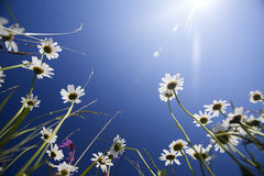 Beautiful white daisies and blue sky Stock Image