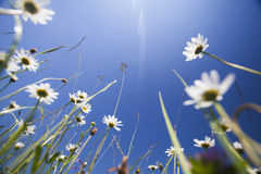 Beautiful white daisies and blue sky Royalty Free Stock Image
