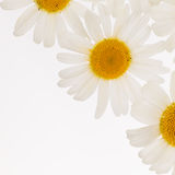 Beautiful white daisies Stock Images