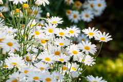 Beautiful white daisies flowers Stock Photos