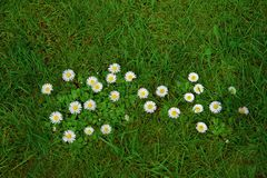 Beautiful white daisies on green grass background stock photos