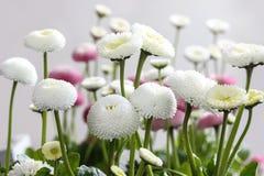 Beautiful white daisies Stock Photography