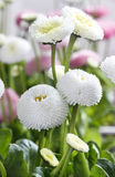 Beautiful white daisies Royalty Free Stock Photography