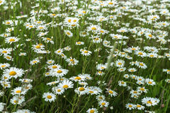Beautiful white daisies in the wind. Many wild meadow of daisy flowers. Summer day after rain. Seasons, ecology, green Stock Image