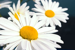Beautiful white daisy Stock Images