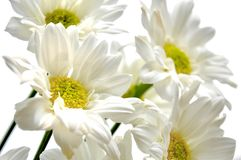 Beautiful white daisy Stock Photos