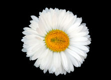 Beautiful white daisy. Isolated on black background Stock Photography