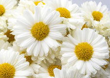 Beautiful white daisy. For background Stock Photo