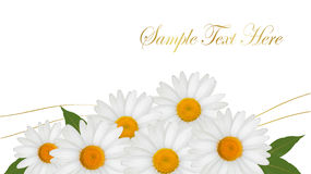 Beautiful white daisy background. Stock Images