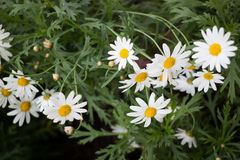 Beautiful white daisy flower blooming Stock Images