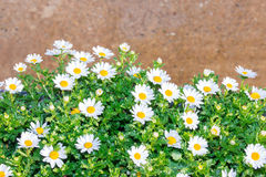 Beautiful White daisy flower green leaf. Stock Photo