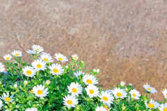 Beautiful White daisy flower green leaf. Royalty Free Stock Photo
