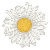 Beautiful white daisy flower isolated. Stock Photography