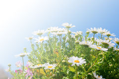Beautiful White daisy flower with sky blue. Stock Image