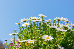 Beautiful White daisy flower with sky blue. Stock Images