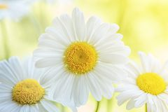 Beautiful white daisy flowers Stock Images