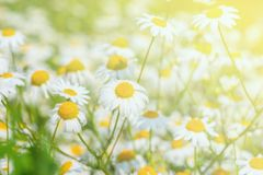 Beautiful white daisy flowers on the meadow. Stock Image