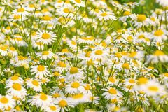 Beautiful white daisy flowers on the meadow. Stock Photos