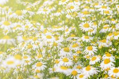 Beautiful white daisy flowers on the meadow. Stock Images