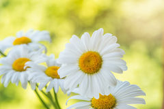 Beautiful white daisy flowers. Royalty Free Stock Images