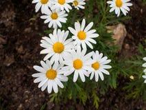 Beautiful white daisy flowers Royalty Free Stock Photos