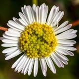 Macro shot pollen of Daisy flower. stock images