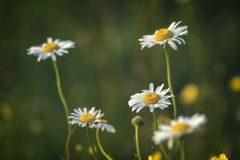 Beautiful white daisy growing in a summer garden.Leucanthemum vu Stock Image
