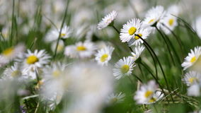Beautiful white daisy growing stock footage