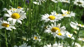 Beautiful white daisy meadow. Stock Photo