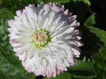 Beautiful white daisy. Pink, summer day, nature Stock Photography