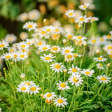 Beautiful white daisy and yellow pollen blooming in the garden Royalty Free Stock Photos