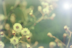 Beautiful white dandelion flowers close-up. close up of Dandelio Stock Photos