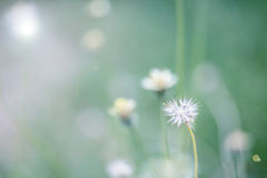Beautiful white dandelion flowers close-up. close up of Dandelio Royalty Free Stock Photography