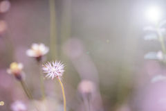 Beautiful white dandelion flowers close-up. close up of Dandelio Stock Photo