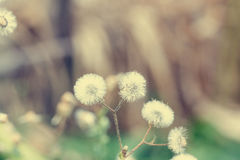 Beautiful white dandelion flowers close-up. vintage effect style Stock Photography