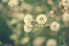 Beautiful white dandelion flowers close-up. vintage effect style Royalty Free Stock Images