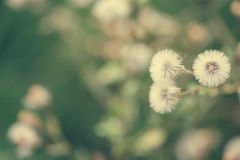 Beautiful white dandelion flowers close-up. vintage effect style Royalty Free Stock Photos
