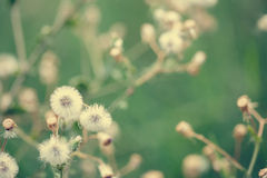 Beautiful white dandelion flowers close-up. vintage effect style Royalty Free Stock Photo