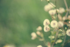 Beautiful white dandelion flowers close-up. vintage effect style Royalty Free Stock Photography
