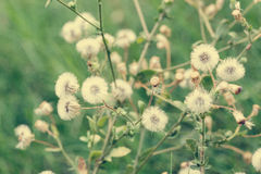 Beautiful white dandelion flowers close-up. vintage effect style Stock Image