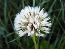 White dandelion fluff in meadow, Lithuania stock photos