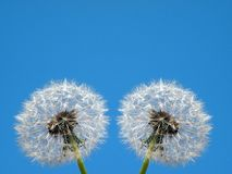 White dandelion fluffs in blue sky background Royalty Free Stock Images